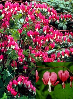 Dicentra-Bleeding_Heart.jpg